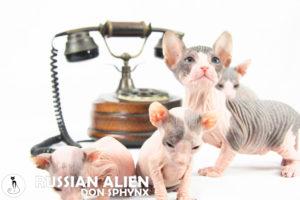 Ekaterina, Fedora, Filipp e Fedot Russian Alien Don Sphynx