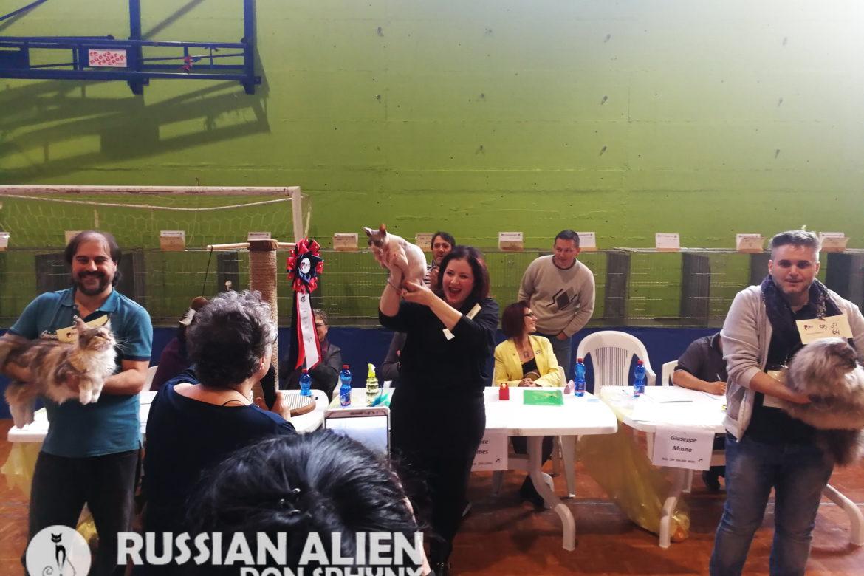 AFEF Cat Show Valboldione - Russian Alien Don Sphynx